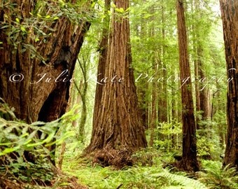 "20"" x 30"" Print on Canvas, Fine Art Print, Muir Woods, Nature Photography, Forest, Tree - ""Wanderlust"""