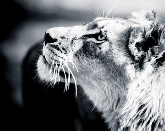 Lioness Fine Art Photography - Wildlife Wall Art  - Contemporary Animal Black and White Photo - Monochrome Lion Home Decor Print