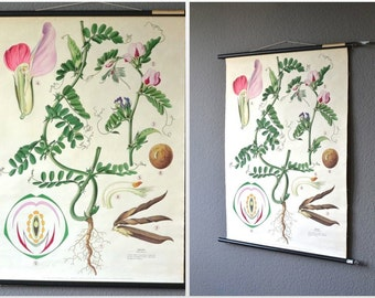 Vintage pull down chart school pull down chart map educational vetch pink flower botany print 70s botany