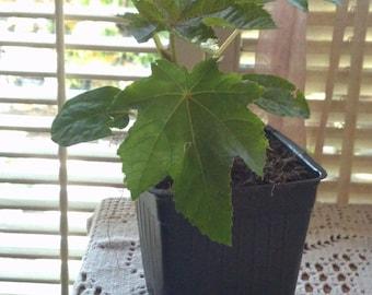 Organic Castor Bean Plant  Live Seedling