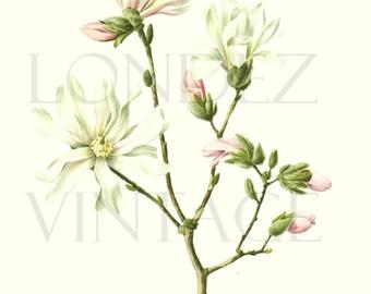 1972 French botanical art Vintage magnolia print white flower print French floral magnolia painting magnolia wall art magnolia watercolor