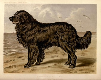 NEWFOUNDLAND Dog Newfie ANTIQUE Chromolithograph Dog Print 1881 by Vero Shaw Cassells and Company illustration Christms Thanksgiving gift