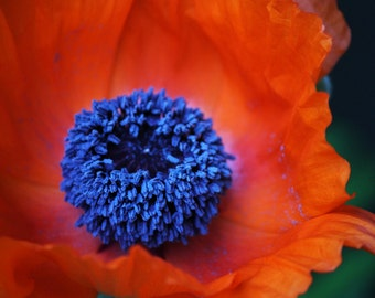 Orange Poppy Print 11x14Artistryi Photography