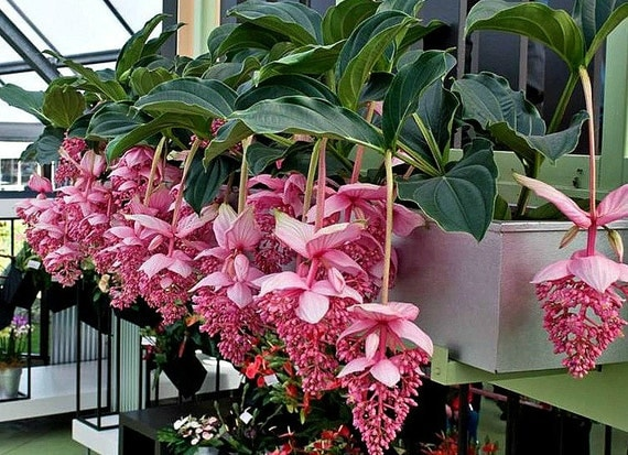 medinilla myriantha malaysischen orchidee 25 samen von smartseeds. Black Bedroom Furniture Sets. Home Design Ideas