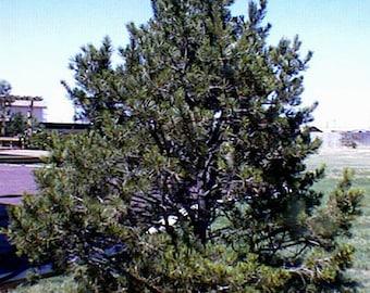 1000 Pinyon Pine Tree Seeds, Pinus Edulis
