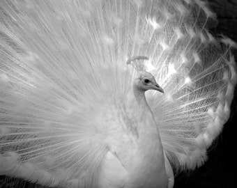 Nature Photography - Stunning Beauty - White Peacock, Avian, Bird, Travel, Monochromatic, Achromatic, Black and White Fine Art Photography