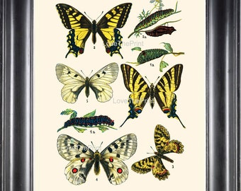 EUROPEAN BUTTERFLY PRINT 8x10 Botanical Art Print 3 Beautiful Butterflies Raupe Apollo Caterpillar Spring Summer Garden to Frame
