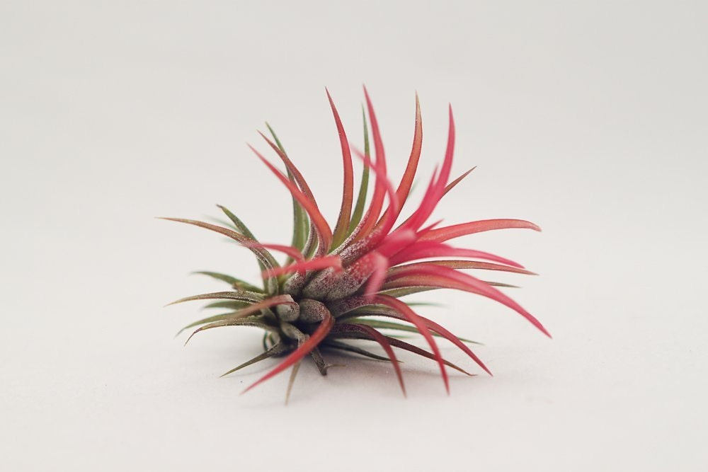 Air plant 5 wholesale fuego tillandsia by hinterlandtrading for Cheap air plants