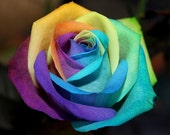 Rainbow rose, 353, Colorful rose seeds,flower seeds, roses from seeds, seeds for roses, gardening multicolor