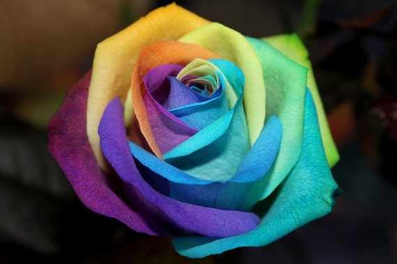 Rainbow rose colorful rose seeds flower by magicgreekgarden for Growing rainbow roses from seeds