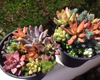 This listing is for of 1  large size succulent container gardens.These succulents are breathtaking and very vibrant in color.