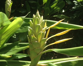 Yellow Ginger Plant (Awapuhi) amazing fragrance-organically grown in Haiku, Maui HAWAII-grow your own sweet scented tropical flowers