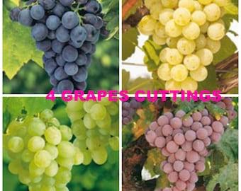 80%OFF, 4 fresh grape cuttings, Grapes cutting, Concord Grapes