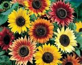 50 - Sunflower Seeds - Autumn Beauty - Heirloom Sunflower Seeds, Autumn Beauty Sunflowers, Mixed Sunflower Seeds, Non-GMO Sunflower Seeds