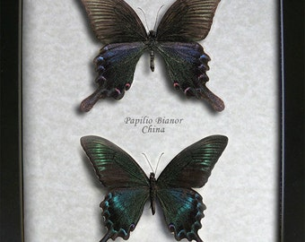 AMAZING SET Swallowtail Papilio Bianor & Maackii Real Butterflies In Shadowbox