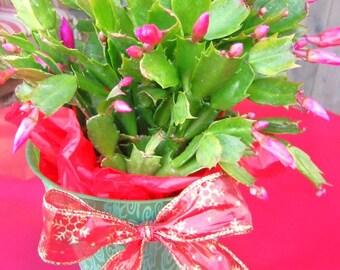 Blooming Christmas Cactus Decorated Premium Plant
