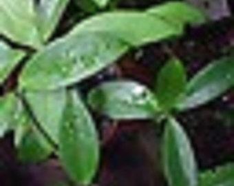Trailing Green Hoya Starter Plant