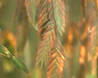 Northern Sea Oats Ornamental Grass Plant 2015 Seeds