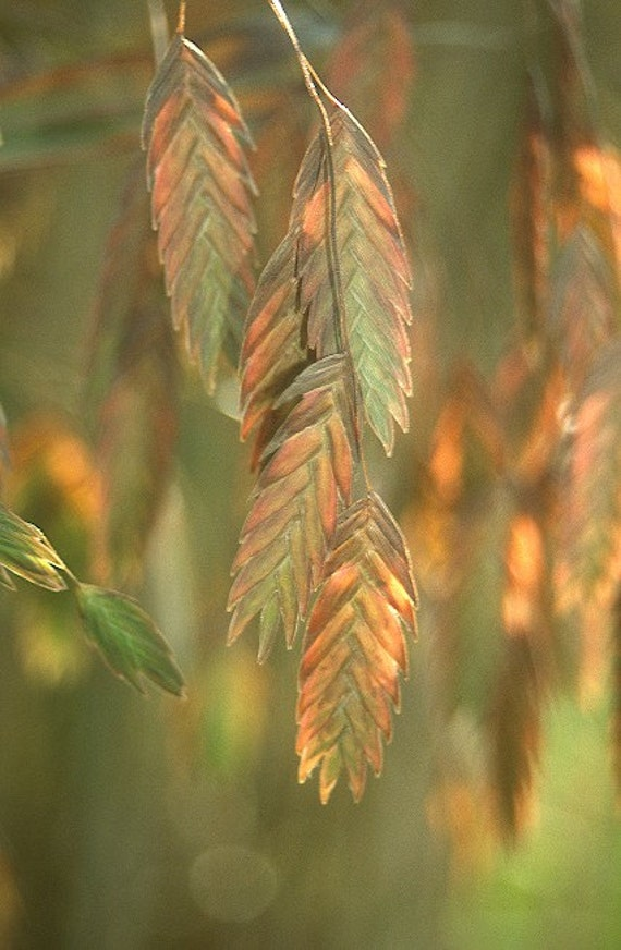 Northern sea oats ornamental grass plant 2016 seeds by for Ornamental sea grass