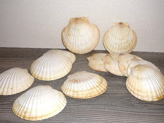 Scallop shells set of 12 seashells beach decor 6 large 6 for Large seashells for crafts