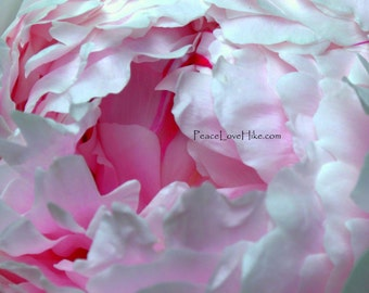 Pink Peony Flower Print #0336 Full Color, Fine Art