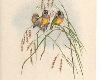"""Gouldian Finch, John Gould Bird Print Plate 12,  From """"Tropical Birds"""" from Plates by John Gould, Published 1948. Home Decor Bird Lover Gift"""