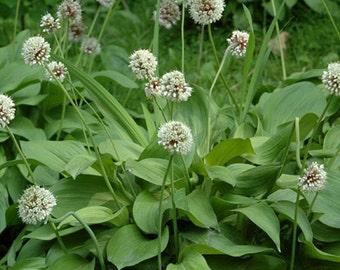 10 Seeds Allium microdictyon