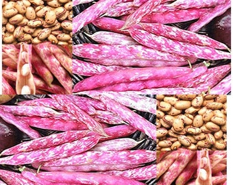 10 x French Horticulture Colorful French variety Green Bean Seeds - Phaseolus vulgaris - 60 - 70 DAYS