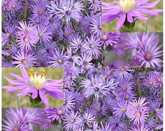 Silky Aster Seed - Western Silver Aster - Aster sericeus Flower Seeds ~ Perennial In Zones 2 - 9