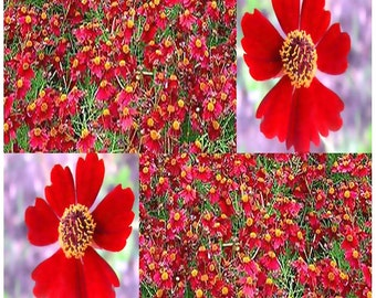 3,500 x Semi Dwarf Red - Coreopsis tinctoria - Plains Coreopsis Flower Seeds - PERFECT CUT FLOWERS - Only 10 - 12 Inches Tall
