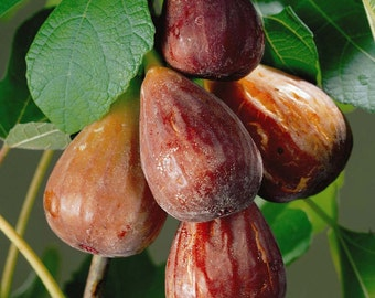 """1 Brown Turkey Fig Tree(Has a wonderful tasting fuit)4"""" container"""