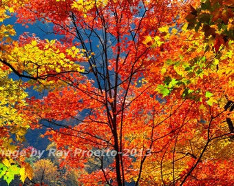 Tree Top, Autumn Colors, Autumn Leaves, South Carolina, Autumn Trees, Fall, Canvas, Gallery Wrap, Fine Art, Photography, Nature, Landscape