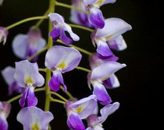 Art print Wysteria, Purple, flower, floral, pastel