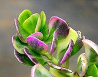 Medium Succulent Plant Senecio Jacobsenii. This plant has exquisite coloring.