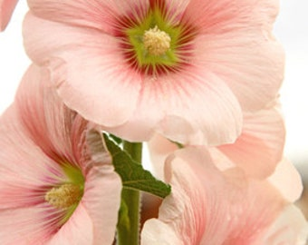 Flower Seeds - ROSE MALLOW PINK mix - Easy to grow!