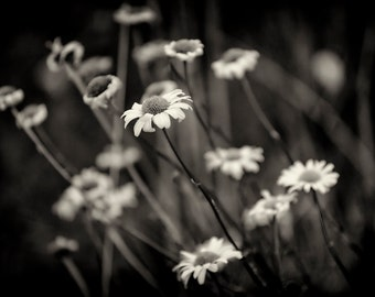 Flower Photography, Alpine Aster, Wildflowers, Fall, Nature, Mountain Flower, Fine Art Black and White Photography, Wall Art, Wall Decor
