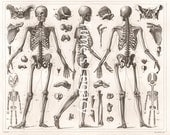 Vintage Anatomical Illustration Human Skeleton Bones 1850s Human Body Science Historical Medical Anatomy Download High Resolution Printable
