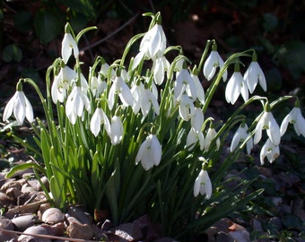 5 Snowdrops early spring flowers bulbs Naturalize Snow Drops Earliest Blooms *Spring planting BULBS