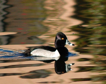 Duck, Black and White Duck, Ring Neck Duck