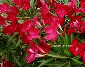 Vivid Red Oleander.  50+ Seeds. FREE Shipping to Your Door... Buy 1 Get 1 FREE