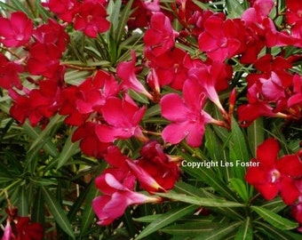 Vivid Red Oleander.  50+ Seeds. Fast Shipping to Your Door... Buy 1 Get 1 FREE