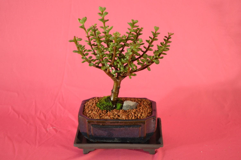 indoor bonsai variegated mini jade. Black Bedroom Furniture Sets. Home Design Ideas