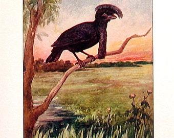 The Umbrella Bird - 1902 Antique Book Page