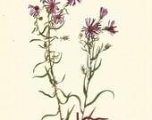 Flower Print - Prairie Aster - Vintage Wild Flowers Print - Botanical Print - Wild Flowers of America - Pineland Aster - Mary V Walcott