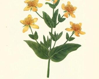 Flower Print - St Johns Wort - Vintage Wild Flower Print - Botanical Book Print - Wild Flowers of America - Fremontia - Mary Vaux Walcott