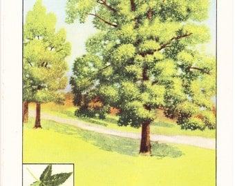 1926 Botany Print - Sweet Gum Tree - Vintage Antique Book Art Illustration Nature Natural Science Great for Framing