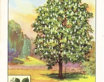 1926 Botany Print - Horse Chestnut Tree - Vintage Antique Book Art Illustration Nature Natural Science Great for Framing