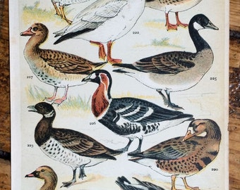 1904 birds original antique ornithology print color lithograph - ducks water fowl