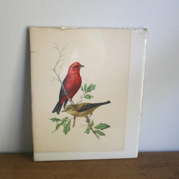 Vintage 1958 Bird Print - Tanager - Donald Art Co. - Printed in Holland