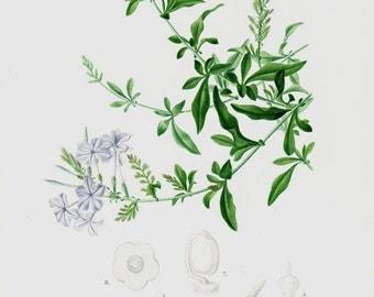 1869 Amazing antique BOTANICAL lithograph, Blue jazmine, blue plumbago, a elegant ornamental plant, original antique print
